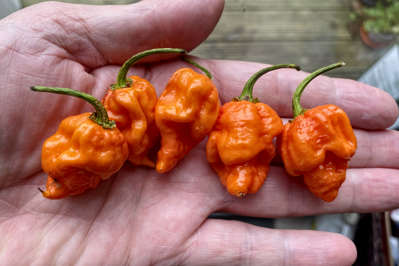 Hot stuff. Orange Carolina Reaper chillis