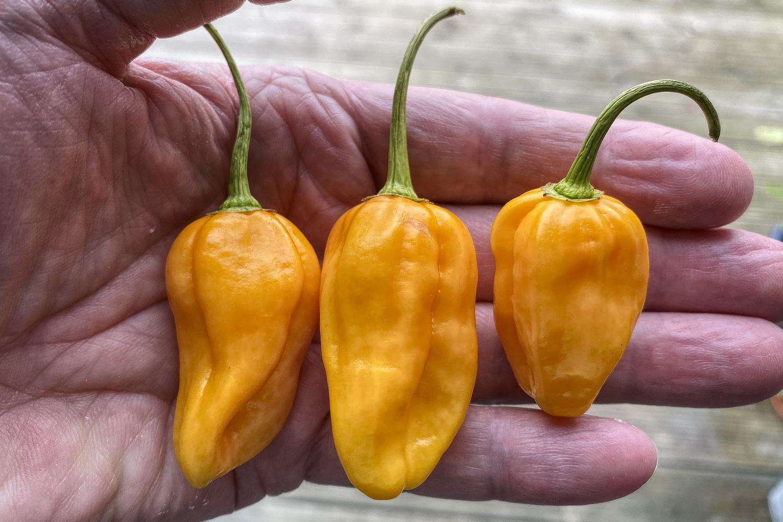 Hot stuff. Yellow Naga chillis